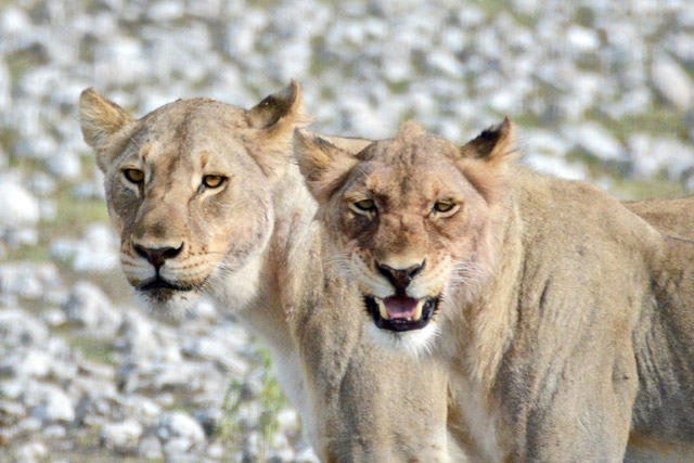 Lions Namibia