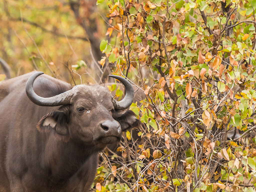 Buffalo in mopani trees