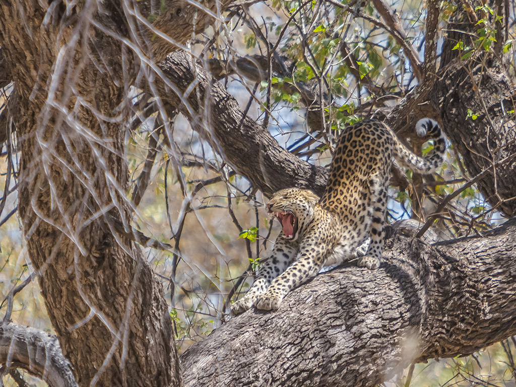 Leopard in Moremi