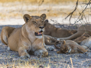 Lions in Moremi